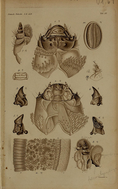 De metamorphosi eleutheratorum observationes by BioDivLibrary on Flickr. Kjøbenhavn :Thieles Bogtrykkeri,1861-72..biodiversitylibrary.org/page/39691601