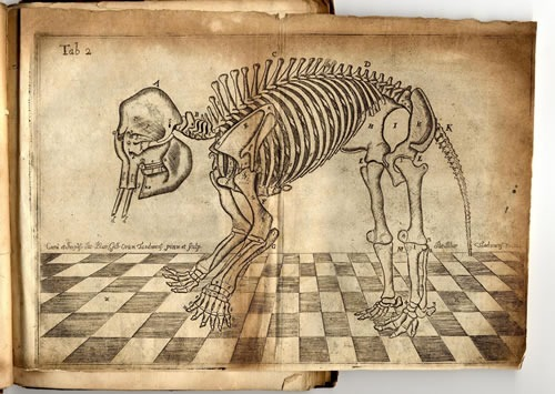 fey-bear:  Image from Blair's Osteographica Elephantina (1710) showing 6-toed elephant.