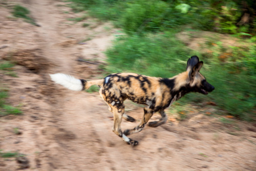 lambandserpent:  photosbyhoodlum:  Wild Dogs. Timbavati 2012.  Lycaon pictus is variously called the African wild dog, African hunting dog, Cape hunting dog, painted dog, painted wolf, painted hunting dog, spotted dog, or ornate wolf.