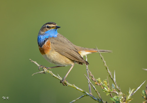 emuwren:  The Bluethroat (Luscinia svecica) is a migratory insectivorous species breeding in wet birch wood or bushy swamp in Europe, Asia and western Alaska.