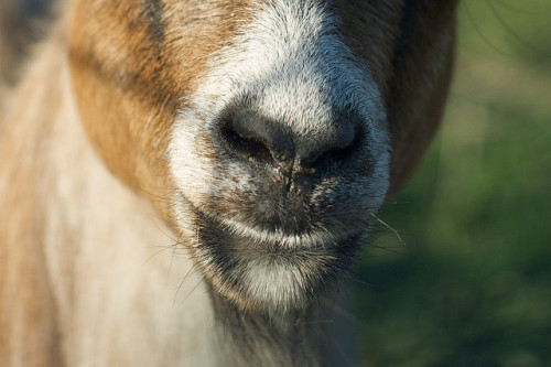 Casey the Goat by pmarkham on Flickr.[Image: A closeup of a goat's muzzle.]