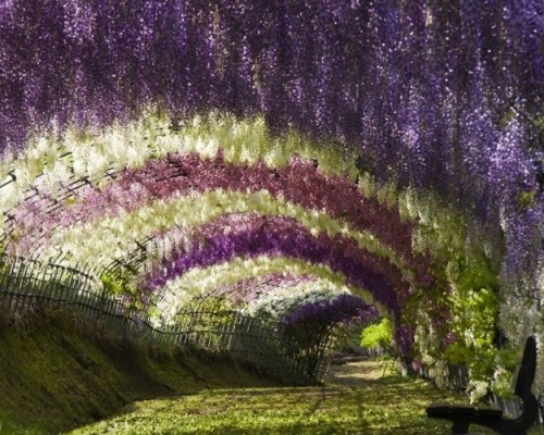 WHIMSICAL WISTERIA GARDENS AND TUNNEL IN JAPAN