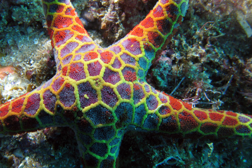 opisthokonta:  Mosaic seastar (by Zenith_Images)  Plecaster decanus This cool guy is one of the few sea stars known to have venomous qualities, this species should not be picked up and held in the bare hand for any length of time. <3