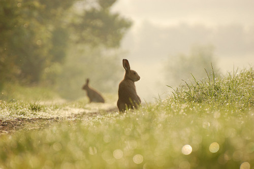 anitajoyholland:  Irish Hare by bmenton on Flickr.