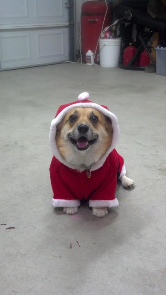 soxandnats:  All I want for Chirstmas is this Corgi