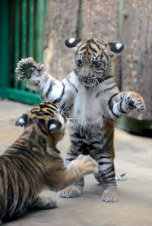 thefrogman:  Two months old Sumatran tiger cubs play by Michal Cizek/AFP/Getty Images [website]