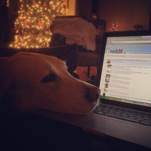 Boomie watching me browse #reddit. #aww for that matter. #dog #lab