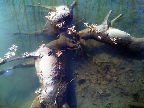 Incredibly rare: Three whitetail bucks locked horns in battle and drowned together in a creek in Ohio.