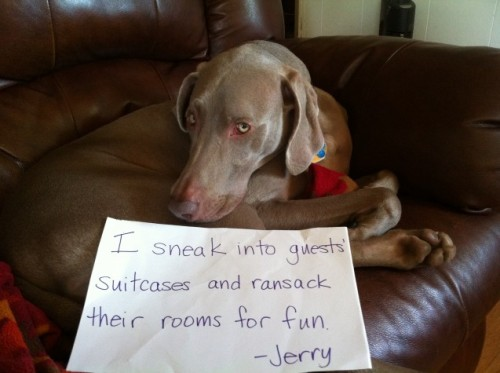 dogshaming:  Suitcase snacker  We had a teacher staying with us from France for 10 days. One day, Jerry the Weim headbutted our…  View Post shared via WordPress.com