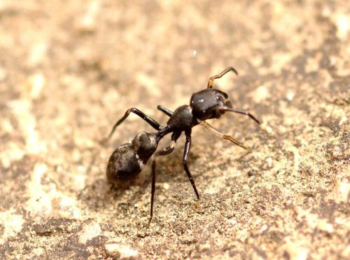 Ant Mimic Spider (Myrmarachne sp.) Some species of spiders have evolved to mimic ants. They hold their front legs aloft and wave them to copy the antennae of ants. By doing this, they deter predators, including other ants. L. Shyamal, Wikipedia Commons