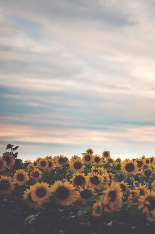 Sunflowers. A sea of them. I think I could eternally live in autumn. And yes, autumn is better than fall.