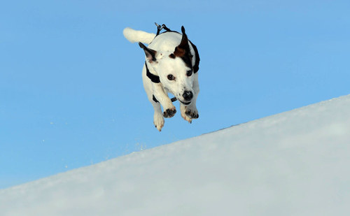 Dogs might fly … if they're as excited about the year's first snowfall as jack russell Alfie in County Durham Photograph: Paul Kingston / NNP/North News & Pictures Ltd