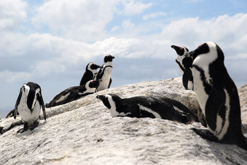 Penguins on Boulders Beach, Cape Town, South Africa. Pinguins na praia Boulders, Cidade do Cabo, África do Sul. Photo copyright: Dutchy Doo