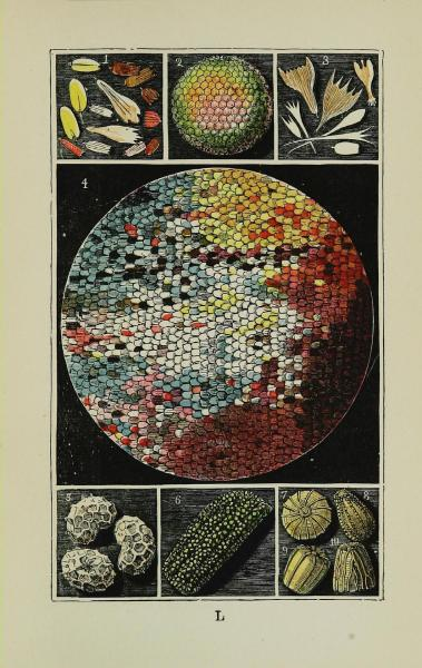 wallacegardens:  Microscopical:  Plate L1.   and 3. Scales of various butterflies2.   Eye of Hemerobius4.   Wing of Peacock Butterfly5.   Poppy Seeds6.   Wing-case of Green Weevil 7.   Egg of Red Underwing Moth8.   Egg of Small White Butterfly9.   Egg of Tortoiseshell Butterfly10. Egg of Lathonia Butterfly  Common Objects of the Country (1894) by Rev. J. G. Wood, illustrations by W. S. Coleman.