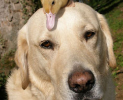 A duckling whose mother was mauled to death by a fox has been adopted by a Labrador retriever