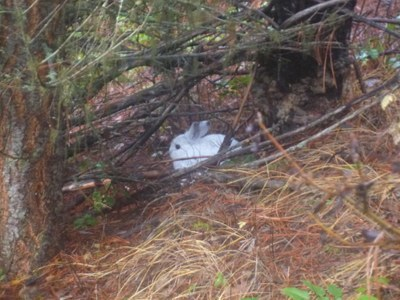 "This poor snowshoe hare hasn't gotten the memo about climate change. YOU'RE THE WRONG COLOR, BUNNY! THERE'S NO SNOW! It's like showing up to a party wearing white shoes in October, except the fashion faux-pas doesn't mean you've suddenly upped your chances of getting eaten in a LITERAL sense. (<—Can I get some props for an actual correct use of ""literal"" there?) So let's not forget: Climate change is an animal-rights issue too. And somebody get that bunny a scarf or something. [Via High Country News]"
