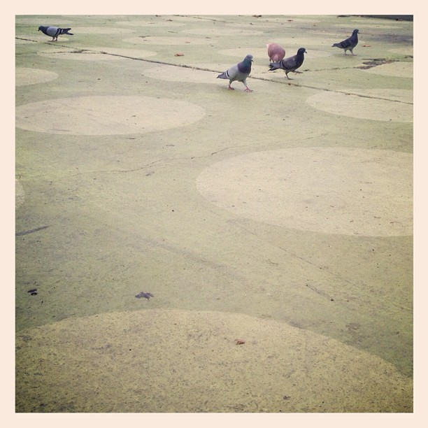 Pigeons in Silverlake - #silverlake #la #losangeles #sunsetblvd #sunsettriangle #outside #pigeon #pigeons #birds (at Sunset Triangle Plaza)