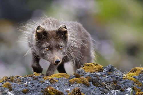 "oraunverulegur:  Arctic Fox (Vulpes lagopus fuliginosus) by Gudmann on Flickr. I used to think ""oh hipsters and their ~foxes~"" but then I saw the Ekki Múkk short film, and now I'm really drawn to foxes. Dammit dammit dammit. Also, everyone calls me a hipster."
