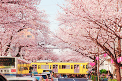 theresiawynnie:  I hope my country have cherry trees like this ._.