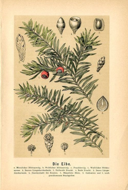 dreamssoreal:  I need yew. featherandmoss:   Yew botanical print.  From Der Jugendgarten. Union Deutsche Verlagsgesellschaft, 1887.