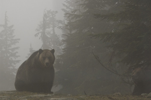 Grizzlies on Grouse Mountain by Jason Hightower on Flickr.