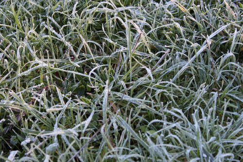 Closeup on Flickr.[Image: Frosty grass glinting with sunlight.] First frost of the season.