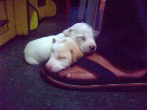 Two of our newborn puppies love to sleep (and pee) on people's feet.